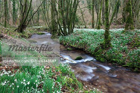 Snowdrops (Galanthus) flowering in North Hawkwell Wood, also known as Snowdrop Valley, Exmoor National Park, Somerset, England, United Kingdom, Europe
