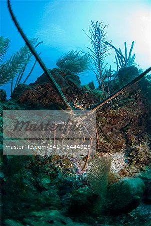 Spiny lobsters, Roatan, Bay Islands, Honduras, Caribbean, Central America Stock Photo - Rights-Managed, Image code: 841-06444928