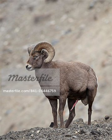 Bighorn sheep (Ovis canadensis) ram with an erection during the rut, Clear Creek County, Colorado, United States of America, North America Stock Photo - Rights-Managed, Image code: 841-06446759