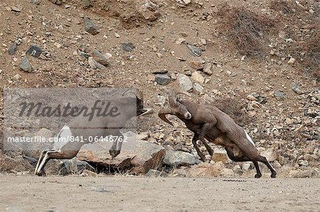 Two bighorn sheep (Ovis canadensis) rams butting heads during the rut, Clear Creek County, Colorado, United States of America, North America Stock Photo - Rights-Managed, Image code: 841-06446762