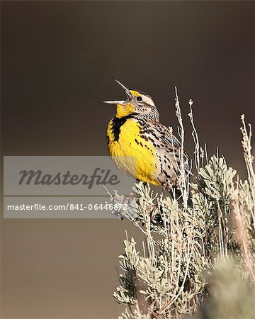 Western meadowlark (Sturnella neglecta) singing, Yellowstone National Park, Wyoming, United States of America, North America Stock Photo - Rights-Managed, Image code: 841-06446872