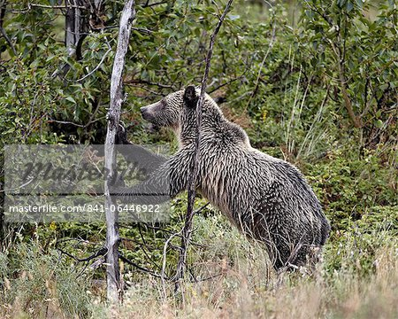 Grizzly bear (Ursus arctos horribilis) pushing over a dead tree, Glacier National Park, Montana, United States of America, North America Stock Photo - Rights-Managed, Image code: 841-06446922