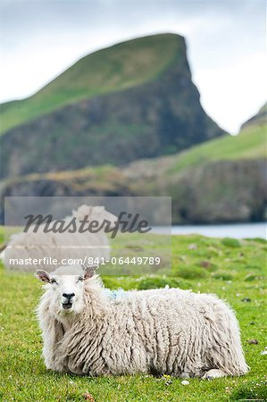 Domestic sheep. Fair Isle, Shetland Islands, Scotland, United Kingdom, Europe Stock Photo - Rights-Managed, Image code: 841-06449789