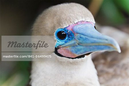 Adult dark morph red-footed booby (Sula sula), Genovesa Island, Galapagos Islands, Ecuador, South America Stock Photo - Rights-Managed, Image code: 841-06499475