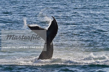 Humpback whale (Megaptera novaeangliae) tail slap, Gulf of California (Sea of Cortez), Baja California Sur, Mexico, North America Stock Photo - Rights-Managed, Image code: 841-06499586