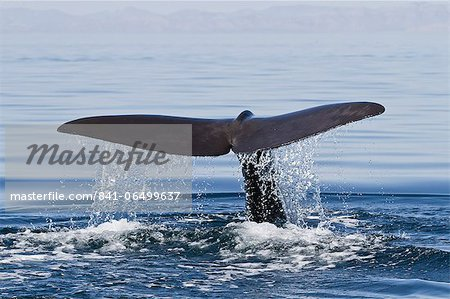 Sperm whale (Physeter macrocephalus) flukes up dive, Isla San Pedro Martir, Gulf of California (Sea of Cortez), Baja California Norte, Mexico, North America Stock Photo - Rights-Managed, Image code: 841-06499637