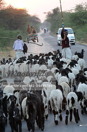 Shepherd herding his sheep, Gujarat, India, Asia Stock Photo - Rights-Managed, Image code: 841-06499781