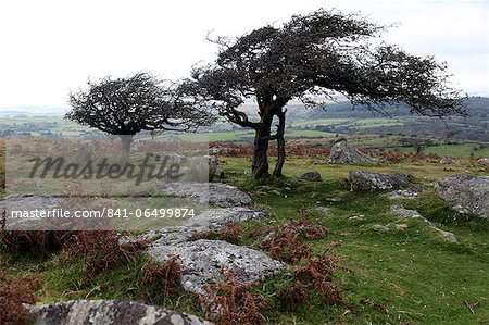 Two windswept trees, near Hexworthy, Dartmoor, Devon, England, United Kingdom, Europe Stock Photo - Rights-Managed, Image code: 841-06499874