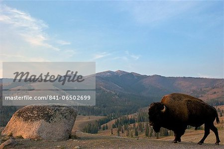 Bison and Mount Washburn in early morning light, Yellowstone National Park, UNESCO World Heritage Site, Wyoming, United States of America, North America Stock Photo - Rights-Managed, Image code: 841-06502699