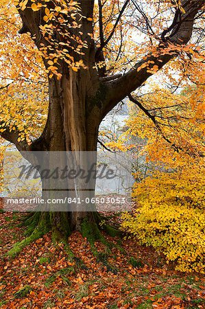 Autumn trees by Ullswater near Glenridding, Lake District National Park, Cumbria, England, United Kingdom, Europe Stock Photo - Rights-Managed, Image code: 841-06503053