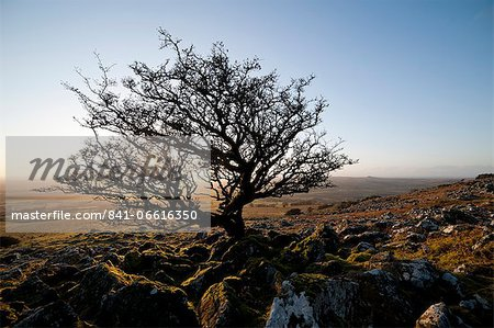 Stunted tree on Dartmoor, Devon, England, United Kingdom, Europe Stock Photo - Rights-Managed, Image code: 841-06616350