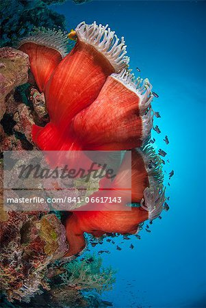 Magnificent anemone (Heteractis magnifica), Ras Mohammed National Park, off Sharm el Sheikh, Sinai, Egypt, Red Sea, Egypt, North Africa, Africa Stock Photo - Rights-Managed, Image code: 841-06617143