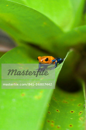Poison Dart Frog, named due it excreting a poison that paralyses - used on native arrows; Arenal, Alajuela Province, Costa Rica Stock Photo - Rights-Managed, Image code: 841-06807442