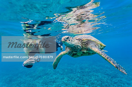 Green sea turtle (Chelonia mydas) underwater with snorkeler, Maui, Hawaii, United States of America, Pacific Stock Photo - Rights-Managed, Image code: 841-07080879