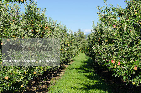 Apple orchard, Kelowna, British Columbia, Canada, North America Stock Photo - Rights-Managed, Image code: 841-07082777