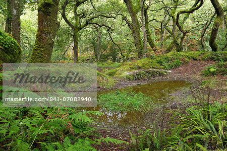 Dewerstone Wood in Dartmoor National Park, Devon, England, United Kingdom, Europe Stock Photo - Rights-Managed, Image code: 841-07082940