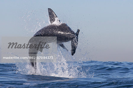 Great white shark (Carcharodon carcharias), Seal Island, False Bay, Simonstown, Western Cape, South Africa, Africa Stock Photo - Rights-Managed, Image code: 841-07084373