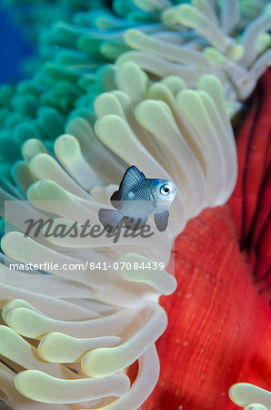Three-spot damsel fish (Dascyllus trimaculatus), magnificent anemone (Heteractis magnifica) close-up, Ras Mohammed National Park, off Sharm el-Sheikh, Sinai, Red Sea, Egypt, North Africa, Africa Stock Photo - Rights-Managed, Image code: 841-07084439