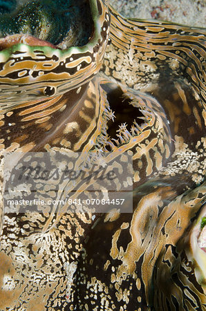 Common giant clam (Tridacna maxima) macro, Ras Mohammed National Park, off Sharm el-Sheikh, Sinai, Red Sea, Egypt, North Africa, Africa Stock Photo - Rights-Managed, Image code: 841-07084457