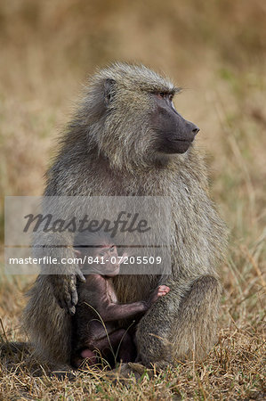 Olive baboon (Papio cynocephalus anubis) nursing, Serengeti National Park, Tanzania, East Africa, Africa Stock Photo - Rights-Managed, Image code: 841-07205509