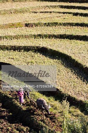 Water buffalo ploughing terraced rice field, near Kengtung, Shan State, Myanmar (Burma), Asia Stock Photo - Rights-Managed, Image code: 841-07206389