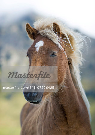Wild horse, Iceland, Polar Regions Stock Photo - Rights-Managed, Image code: 841-07206425