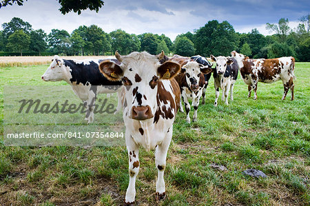 Brown and white French Normandy cow with herd of cattle in a meadow in rural Normandy, France Stock Photo - Rights-Managed, Image code: 841-07354844