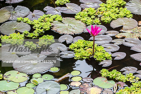Water-lilies, Nymphaea spp, in Phnom Penh, along the Mekong River, Cambodia, Indochina, Southeast Asia, Asia Stock Photo - Rights-Managed, Image code: 841-07457078