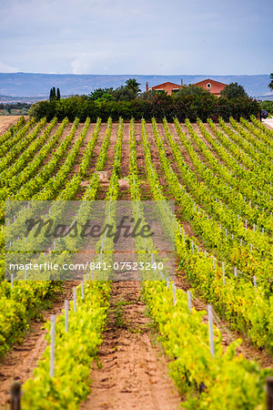 Vineyard at a winery near Noto, South East Sicily, Italy, Europe Stock Photo - Rights-Managed, Image code: 841-07523240