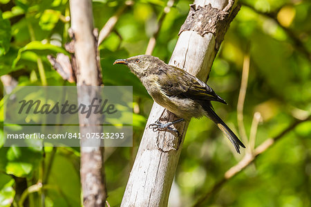 Adult bellbird (Anthornis melanura melanura) on Ulva Island, off Stewart Island, South Island, New Zealand, Pacific Stock Photo - Rights-Managed, Image code: 841-07523293