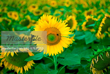 A bee feeding on a sunflower plant in the Loire Valley in France Stock Photo - Rights-Managed, Image code: 841-07523713