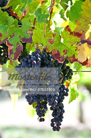 Ripe Merlot grapes on an ancient vine at Chateau Fontcaille Bellevue, in Bordeaux region of France Stock Photo - Rights-Managed, Image code: 841-07523801
