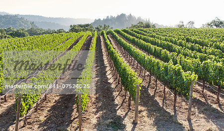 Rows of lush vineyards on a hillside, Napa Valley, California, United States of America, North America Stock Photo - Rights-Managed, Image code: 841-07524025