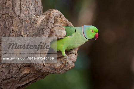 Indian Rose-Ringed Parakeet, Psittacula krameri, in tree hole in village of Nimaj, Rajasthan, Northern India Stock Photo - Rights-Managed, Image code: 841-07540459