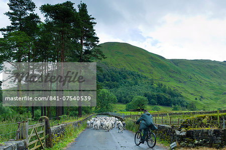 Herdwick sheep with shepherd by Westhead Farm by Thirlmere in the Lake District National Park, Cumbria, UK Stock Photo - Rights-Managed, Image code: 841-07540539