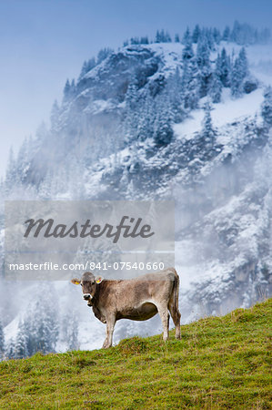 Traditional alpine cattle in the Bavarian Alps, Germany Stock Photo - Rights-Managed, Image code: 841-07540660