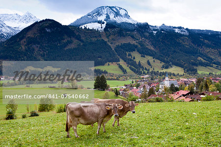 Traditional alpine cattle in the Bavarian Alps, Germany Stock Photo - Rights-Managed, Image code: 841-07540662