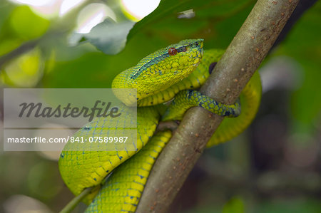 Wagler's pit viper (Tropidolaemus wagleri) a venomous green pit viper found throughout Southeast Asia, Sarawak, Borneo, Malaysia, Southeast Asia, Asia Stock Photo - Rights-Managed, Image code: 841-07589987