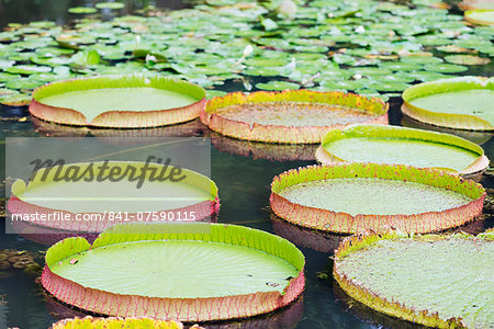 Lily pads, Botanic Gardens, Singapore, Southeast Asia, Asia Stock Photo - Rights-Managed, Image code: 841-07590115