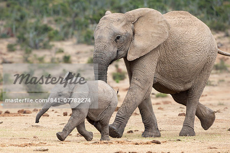 African elephant (Loxodonta africana) and calf, running to water, Addo Elephant National Park, South Africa, Africa Stock Photo - Rights-Managed, Image code: 841-07782274