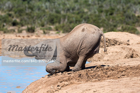 African baby elephant drinking (Loxodonta africana) at Hapoor waterhole, Addo Elephant National Park, Eastern Cape, South Africa, Africa Stock Photo - Rights-Managed, Image code: 841-07782282