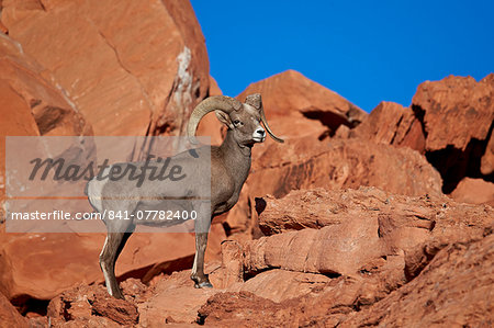 Desert Bighorn Sheep (Ovis canadensis nelsoni) ram, Valley of Fire State Park, Nevada, United States of America, North America Stock Photo - Rights-Managed, Image code: 841-07782400
