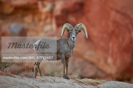Desert Bighorn Sheep (Ovis canadensis nelsoni) ram, Valley of Fire State Park, Nevada, United States of America, North America Stock Photo - Rights-Managed, Image code: 841-07782407