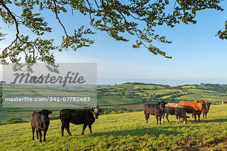 Cattle grazing in beautiful rolling countryside, Devon, England, United Kingdom, Europe Stock Photo - Rights-Managed, Image code: 841-07782483