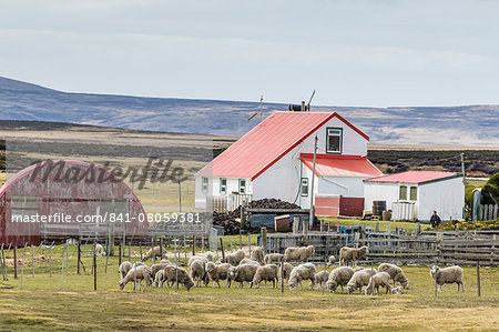 Sheep waiting to be shorn at Long Island sheep Farms, outside Stanley, Falkland Islands, U.K. Overseas Protectorate, South America Stock Photo - Rights-Managed, Image code: 841-08059381