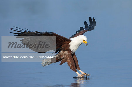 African fish eagle (Haliaeetus vocifer) fishing, Chobe National Park, Botswana, Africa Stock Photo - Rights-Managed, Image code: 841-08059444