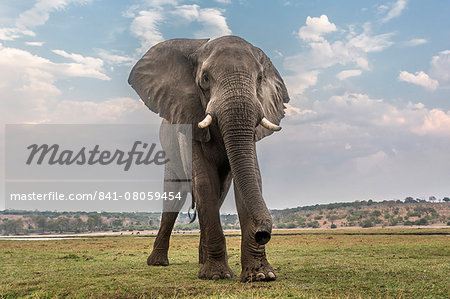 African elephant (Loxodonta africana), Chobe National Park, Botswana, Africa Stock Photo - Rights-Managed, Image code: 841-08059454