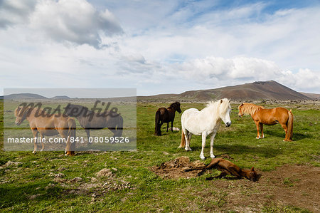 Wild horses, Reykjanes Peninsula, Iceland, Polar Regions Stock Photo - Rights-Managed, Image code: 841-08059526