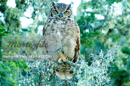 Great horned owl (Bubus Virginianus nacurutu), Patagonia, Argentina, South America Stock Photo - Rights-Managed, Image code: 841-08357291