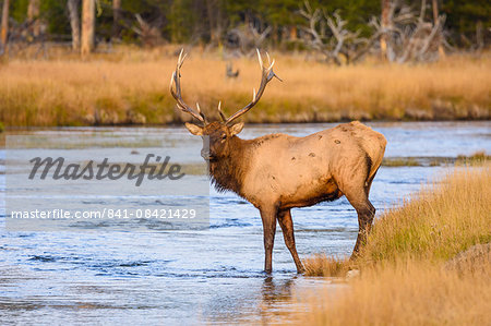 Elk (Cervus canadensis) crossing the Madison River, Yellowstone National Park, UNESCO World Heritage Site, Wyoming, United States of America, North America Stock Photo - Rights-Managed, Image code: 841-08421429